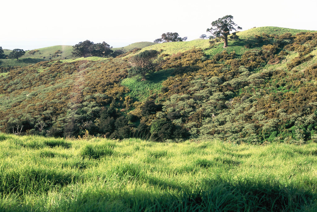 Tree in field on Waiheke island